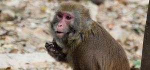 Monkeys roam Qixing Gongyuan