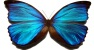 Blue_morpho_butterfly
